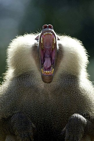 Hamadryas Baboon (Papio hamadryas), yawning adult male, portrait, native to Africa