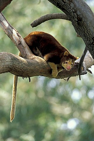 Matschie's Tree-kangaroo or Huon Tree-kangaroo (Dendrolagus matschiei), adult in a tree, native to New Guinea