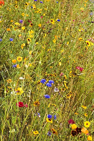 Meadow with wild flowers in Pont Aven, Bretagne, France, Europe