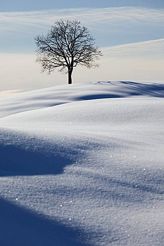 Single tree, winter landscape with fresh snow in the Alpstein massif, Appenzell, Switzerland, Europe - 832-25531