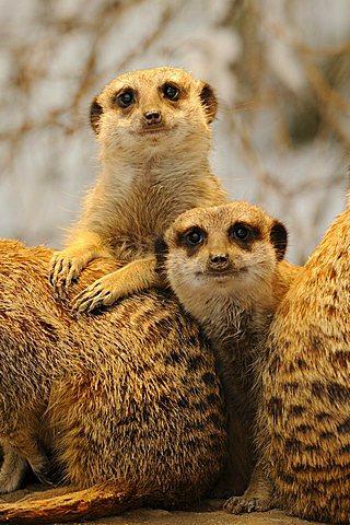 Meerkats or Suricates (Suricata Suricatta)