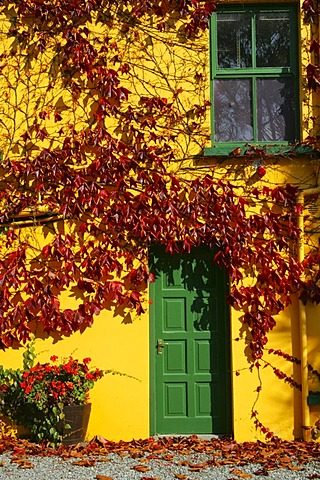 Bright yellow house wall covered in autumnal red leaves, green door and window, Glengarriff, Beara Peninsula, Cork, Ireland