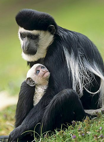 Mantled Guereza or Abyssinian Black-and-white Colobus (Colobus guereza), female with young