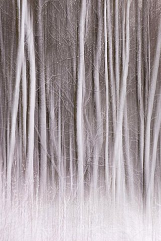 Trees in snow, snow flurry, Goldenstedt, Lower Saxony, Germany
