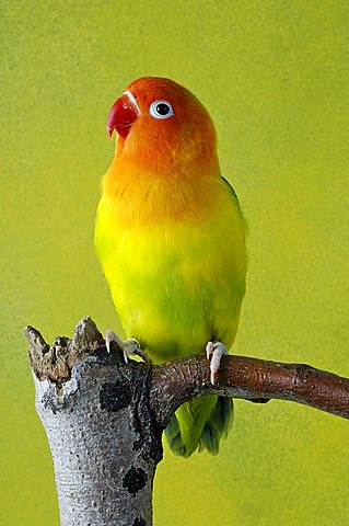 Peach-faced Lovebird or Rosy-faced Lovebird (Agapornis roseicollis), aviary bird - 832-26152