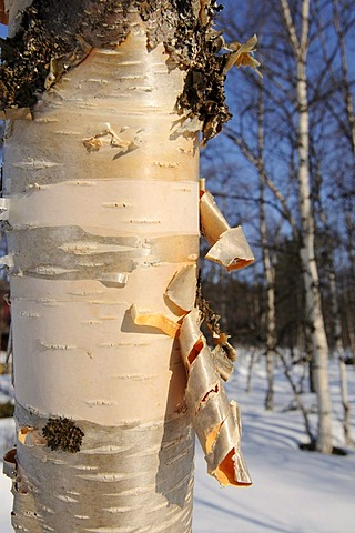 Birch bark, Lake Inari, Lapland, Finland, Europe