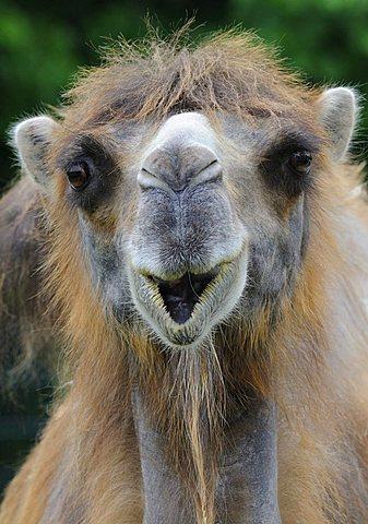 Bactrian Camel (Camelus bactrianus) - 832-2632