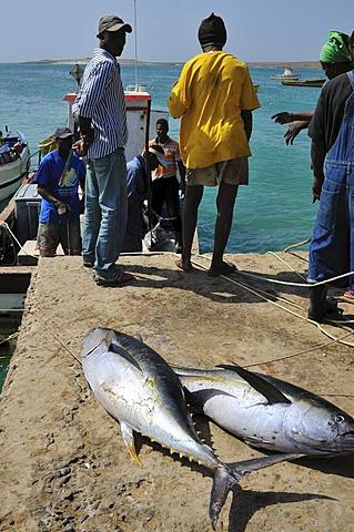 Fishermen unloading tunas, Sal Rei, Boa Vista Island, Republic of Cape Verde, Africa