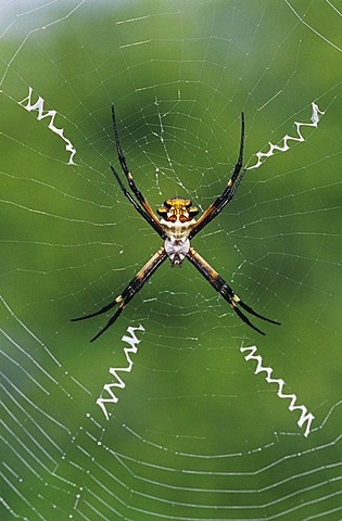 Silver Argiope (Argiope argentata), female in web, Willacy County, Rio Grande Valley, South Texas, USA