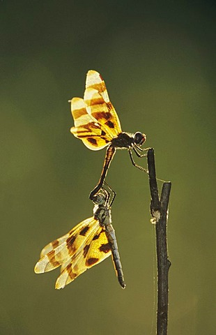 Halloween Pennant (Celithemis eponina), pair mating, Corpus Christi, Texas, USA