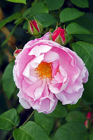 Mary Rose (Rosa Mary Rose), English rose, shrub, sweet fragrance