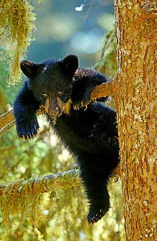 Young American Black Bear (Ursus americanus), cub, on a tree, Tongass National Forest, southeast Alaska, USA