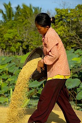 Khmer woman pours rice near Kompong Thom Cambodia