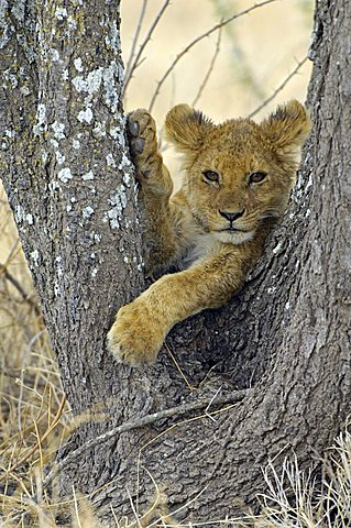 A lion cub (Panthera leo) relaxes in a tree fork, Ndutu, Ngorongoro, Tanzania, Africa