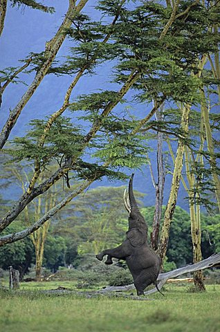 African Bush Elephant (Loxodonta africana) feeding on an acacia tree, Ngorongoro Crater, Tanzania, Africa