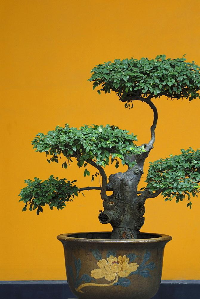 Bonsai tree, China