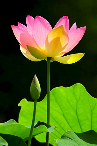 Pink Lotus (Nelumbo) flower with a bud