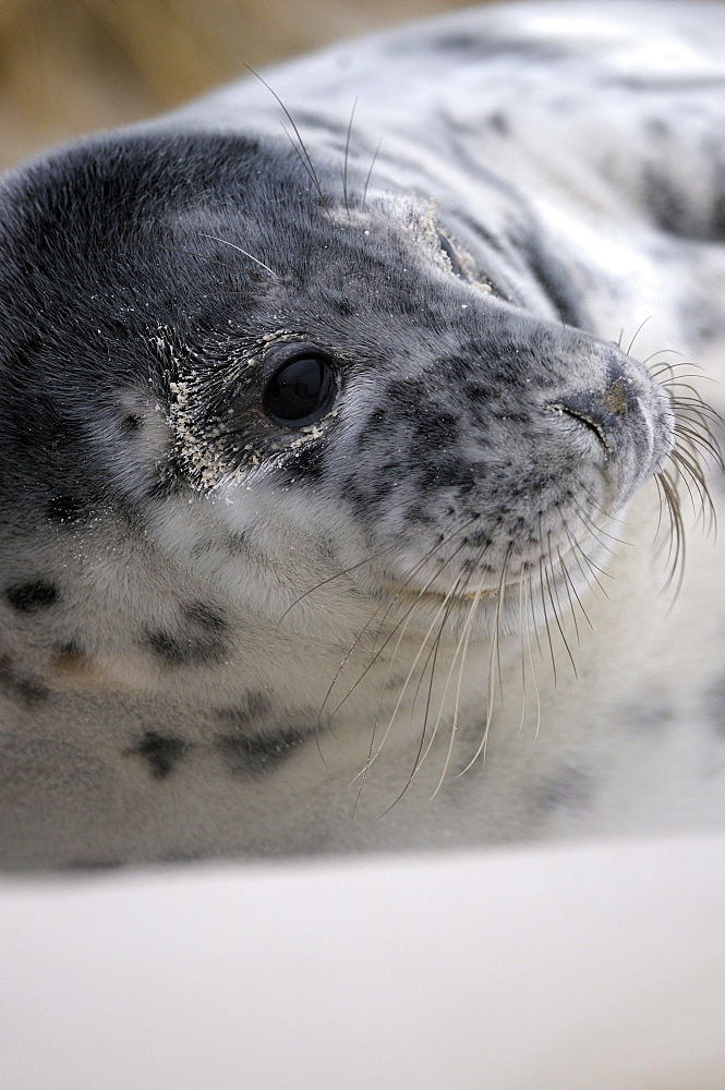 Grey Seal (Halichoerus grypus), young which is some weeks old