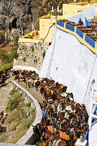 Donkeys are waiting for tourists to carry them down to the old harbour, Thira, Santorini, Greece