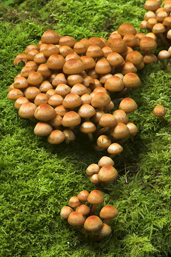 Mushrooms growing on a moss covered tree stump, Eyachtal, Northern Black Forest, Baden-Wuerttemberg, Germany, Europe