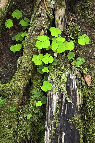 Clover growing between dead wood, Eyachtal, North Black Forest, Baden-Wuerttemberg, Germany, Europe