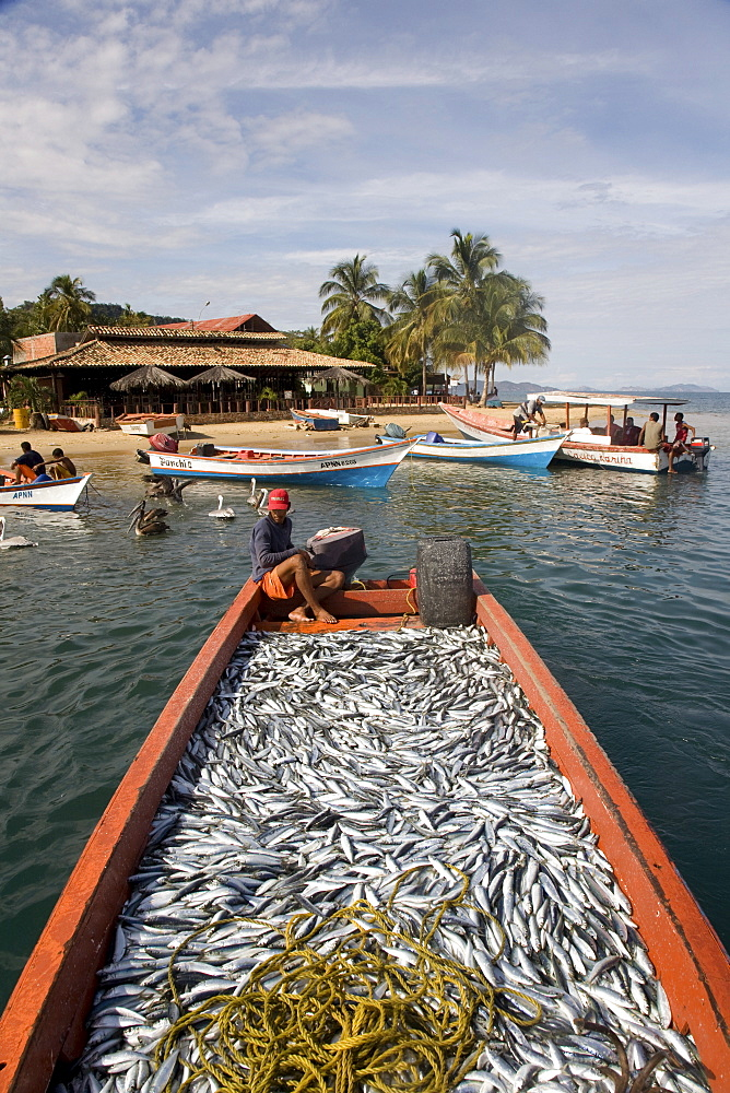 Large catch of sardines, Santa Fe, Sucre, Venezuela, South America