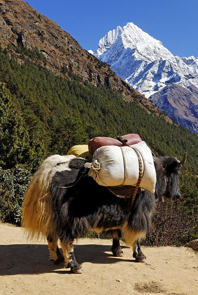 Loaded yak (Bos grunniens) in front of Mt. Thamserku (6608 m), Sagarmatha National Park, UNESCO World Heritage Site, Khumbu Himal, Nepal