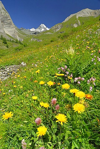Flower meadow in front of the peak of the Grossglockner, National Park Hohe Tauern, Tyrol, Austria