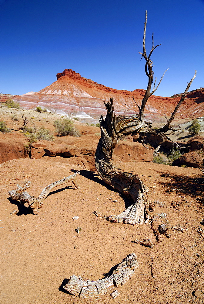 Dried-up Utah Juniper (Juniperus osteosperma) in the desert in front of sandstone mountains, eroded landscape along the Paria River, setting of many classic westerns, Grand Staircase Escalante National Monument, Utah, USA, North America