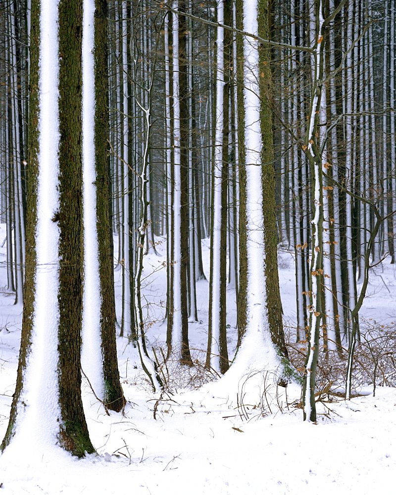 Firs (Picea abies), snow covered trunks