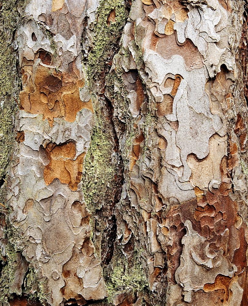 Mountain pine, bark structure