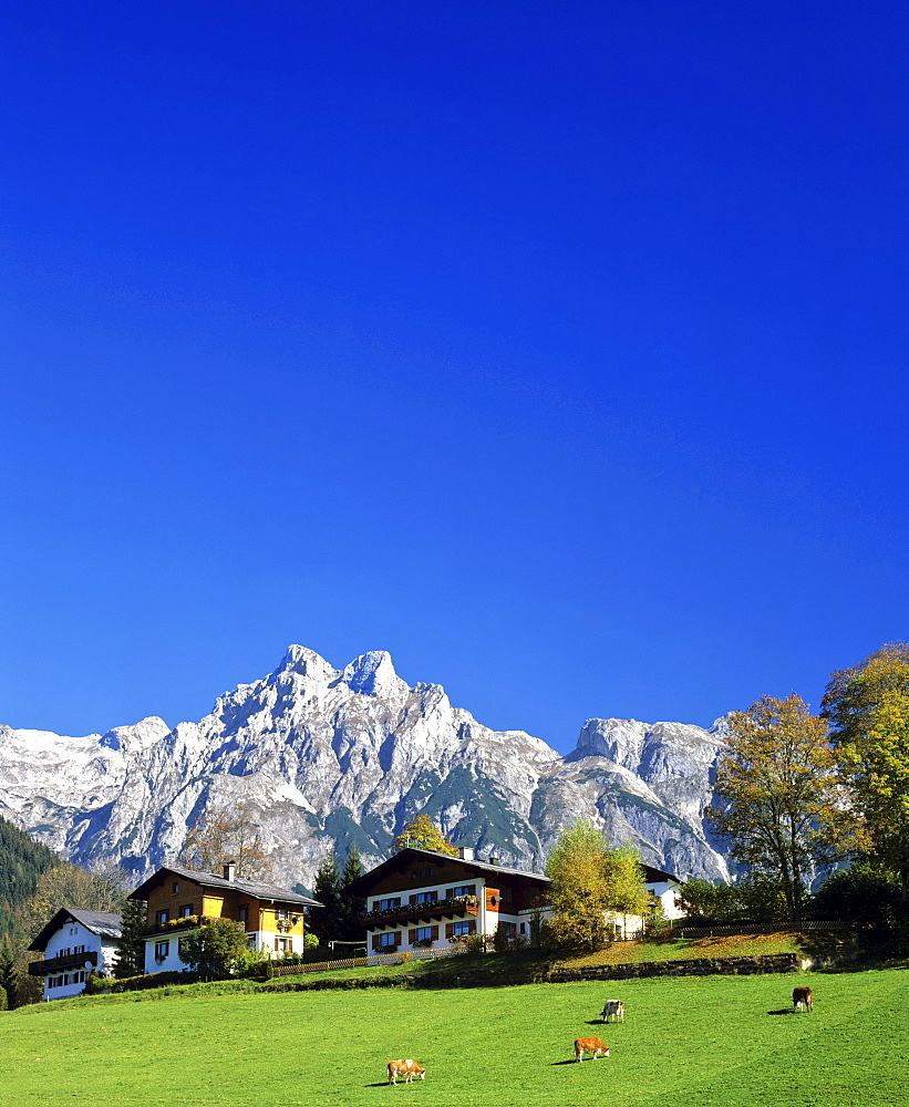 Cow pasture, Mt. Eiskogel, Tennengebirge (Tennen Range), Salzburger Land, Austria, Europe