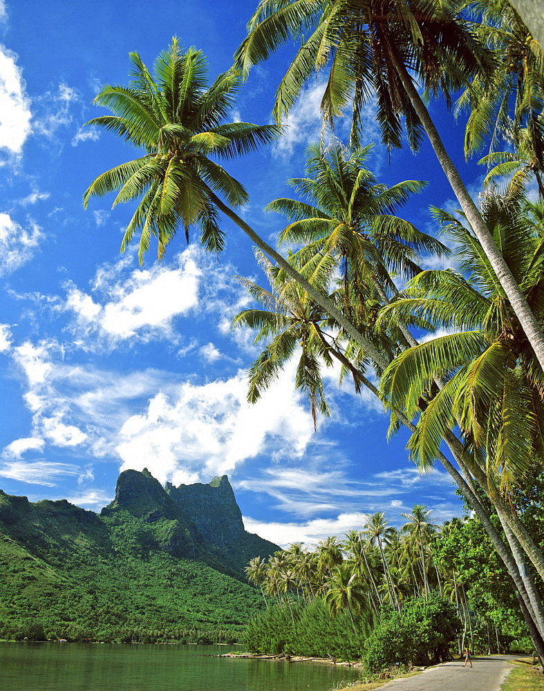 Palms and lush vegetation, Cook's or Paopao Bay, Moorea, Society Islands, French Polynesia, South Pacific, Oceania