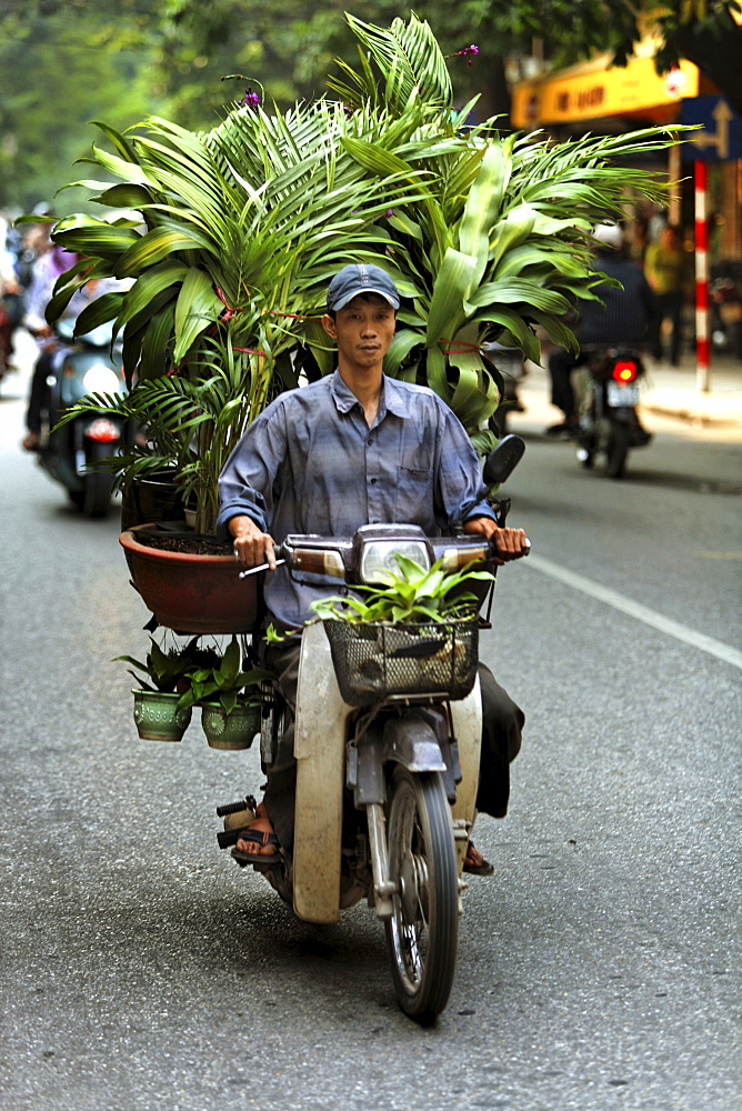 Transport of several trees and potted plants on a moped in the middle of Hanoi, Vietnam, Southeast Asia
