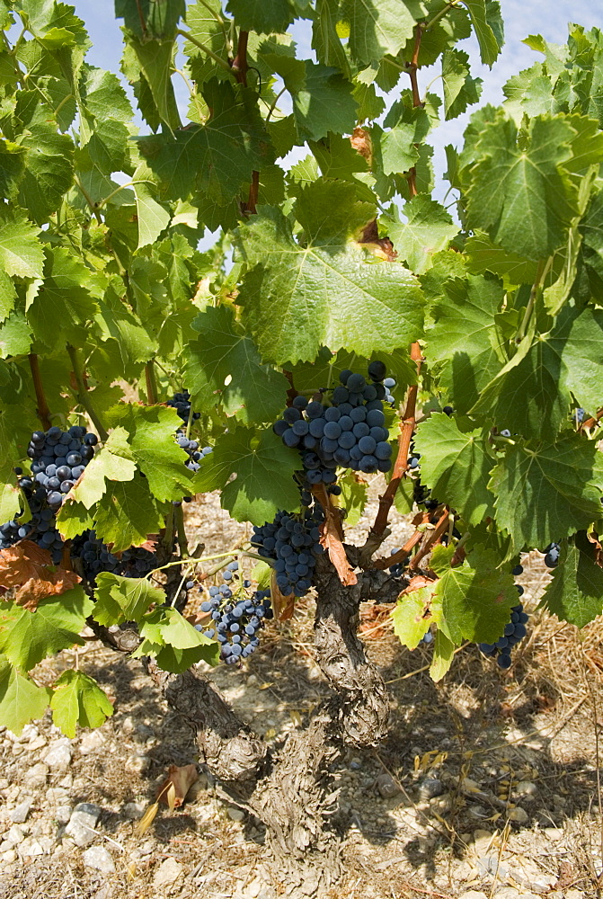 Bunches of dark red grapes on vines in the Corbieres region, Department Aude, France, Europe