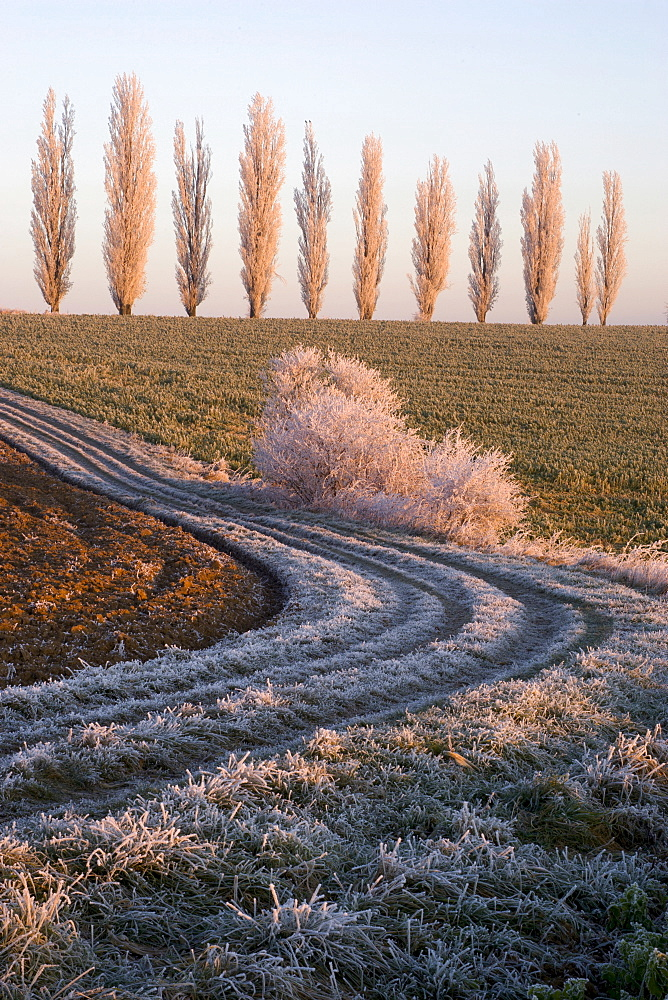 Poplars in a field in the morning with hoar frost