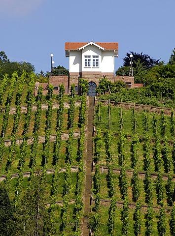 Vineyard in the center of Stuttgart, Baden-Wuerttemberg, Germany