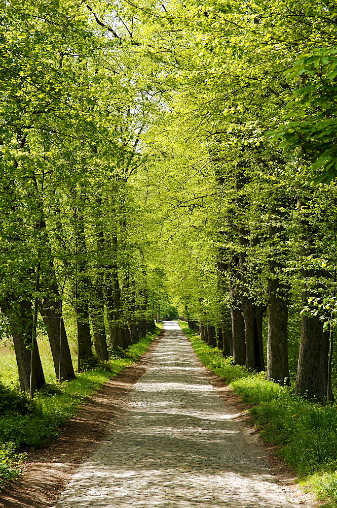 Road lined with old Lime trees (Tilia), Lassahn, Mecklenburg-Western Pomerania, Germany, Europe