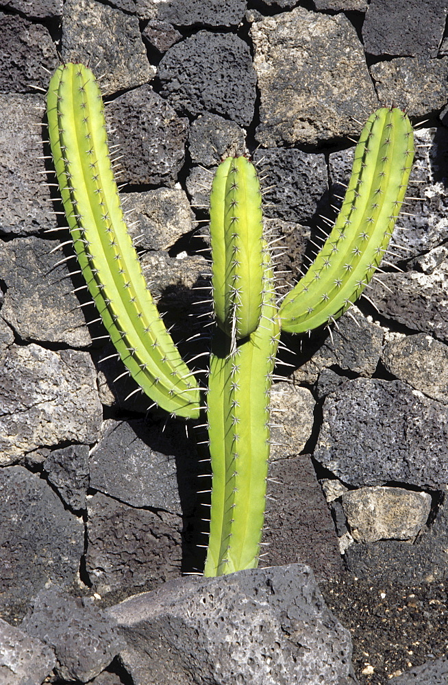 Cactus growing in front of a volcanic rock wall