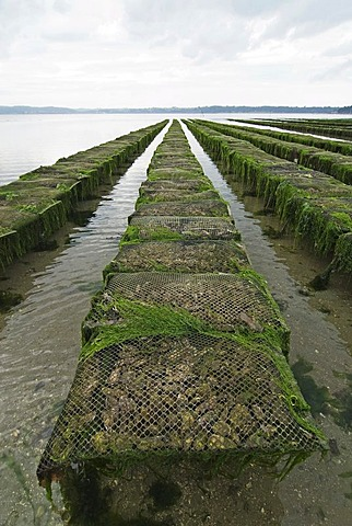 Oyster beds in the bay of Morlaix, Brittany, France