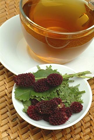 Great Burnet tea, Sanguisorba officinalis,