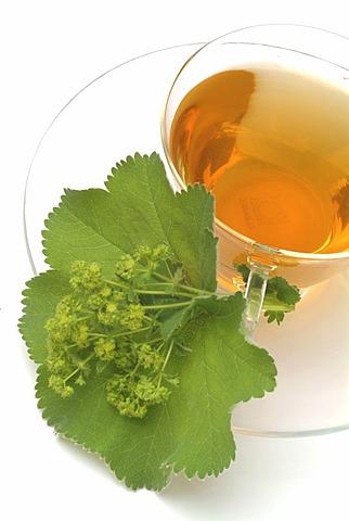 Herb tea made of Alchemilla vulgaris, Lady's mantle