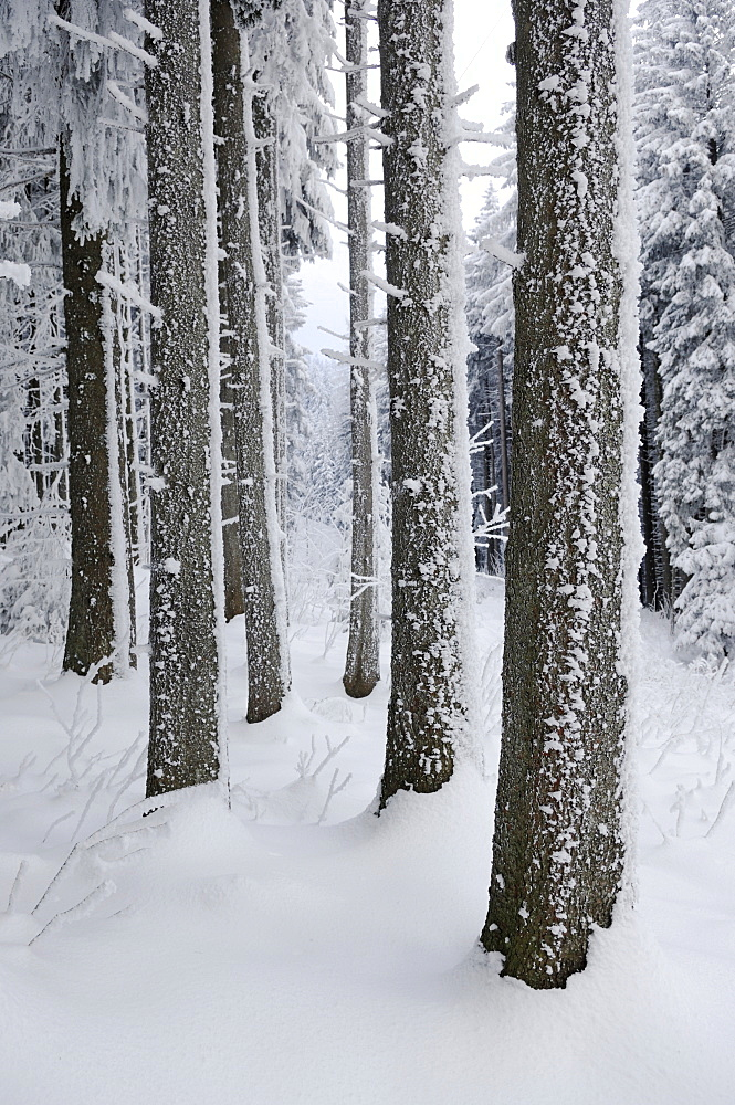 Snow-covered forest at the foot of Mt. Pilatus, Lucerne, Switzerland, Europe