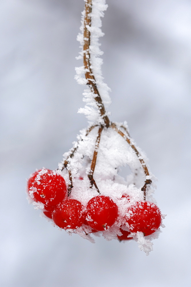 Frost-covered European Rowan (Sorbus aucuparia) fruit