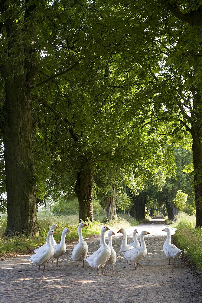 Geese on a tree-lined street near Lancken-Granitz, Ruegen, Mecklenburg-Western Pomerania, Germany, Europe