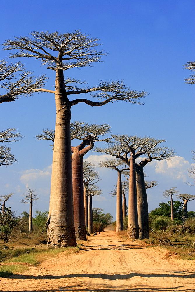 Avenue of the Beobabs Grandidier's Baobab, (Adansonia Grandidieri), with ox-cart, Morondava, Madagascar, Africa