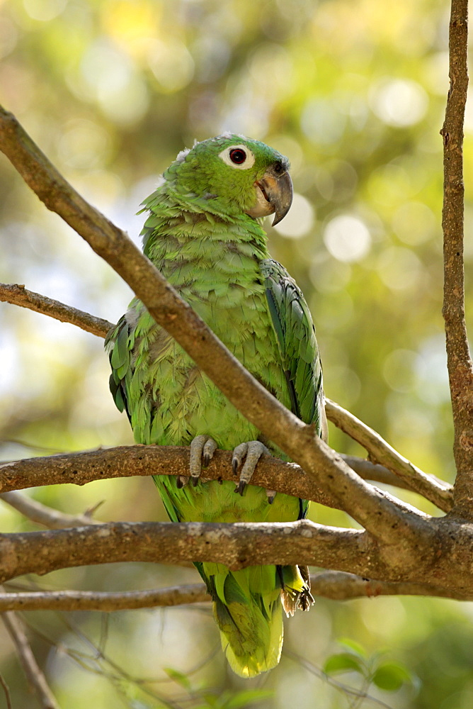 Mealy Amazon or Mealy Parrot (Amazona farinosa), adult perched in a tree, Roatan, Honduras, Central America