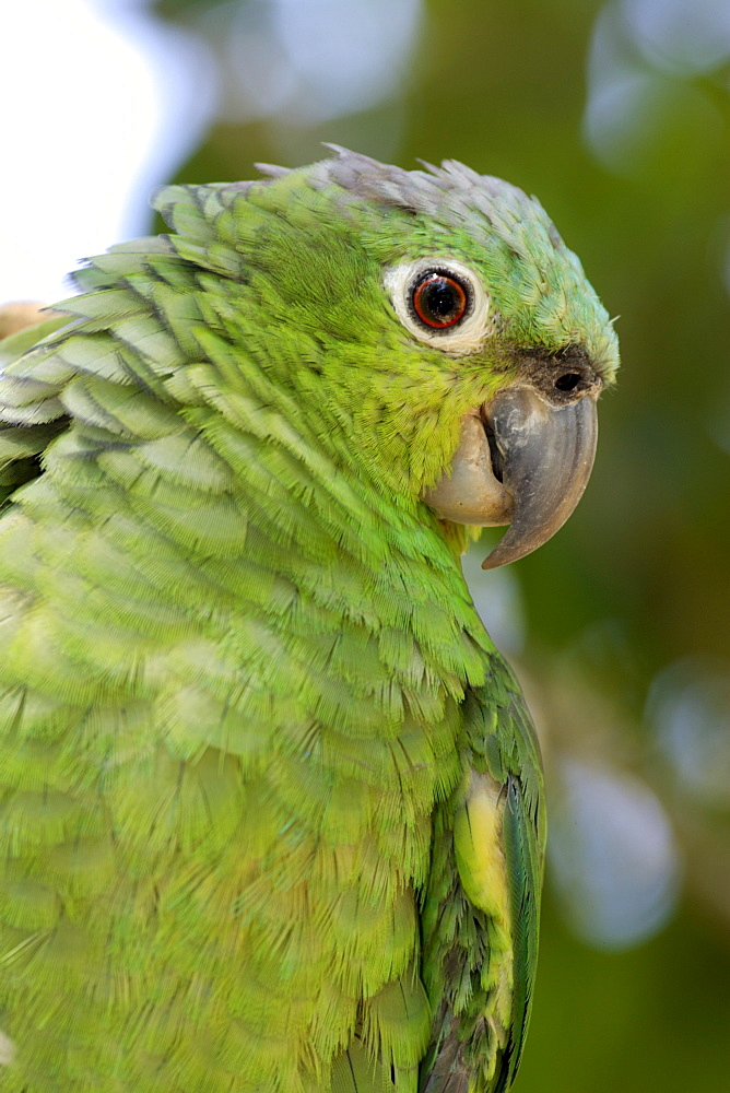 Mealy Amazon or Mealy Parrot (Amazona farinosa), adult, portrait, Roatan, Honduras, Central America