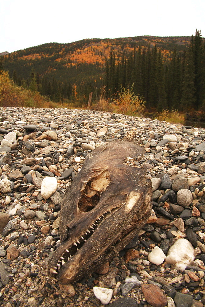 Dried salmon head on gravel bank with fall foliage at the back, Big Salmon River, Yukon Territory, Canada