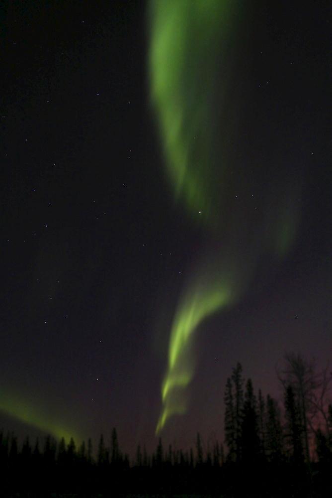 Northern Lights (Aurora Borealis), trees silhouetted in green light, Yukon Territory, Canada